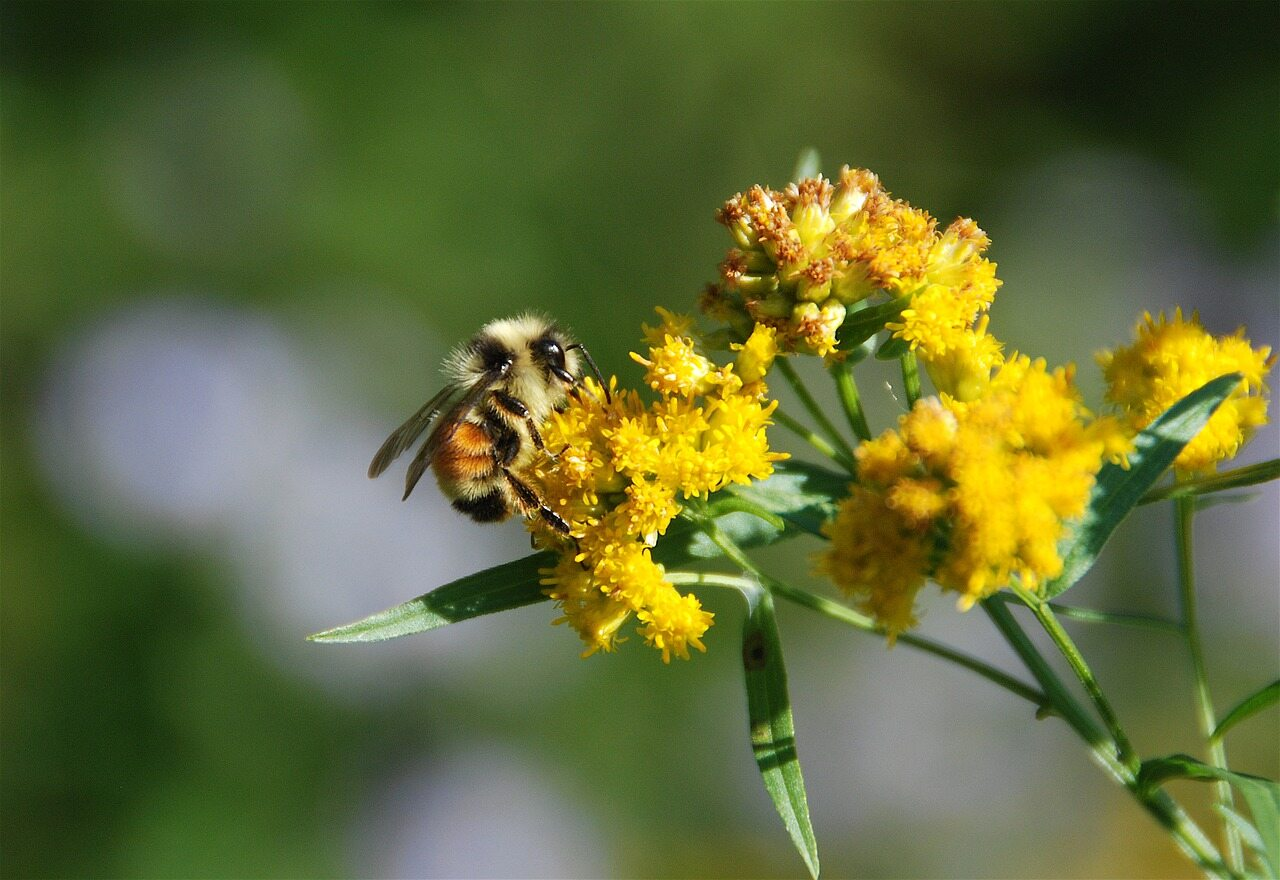 Nawłoć jest niekorzystna dla pszczół i rolnictwa
