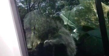 Niedźwiedź obudził kierowcę