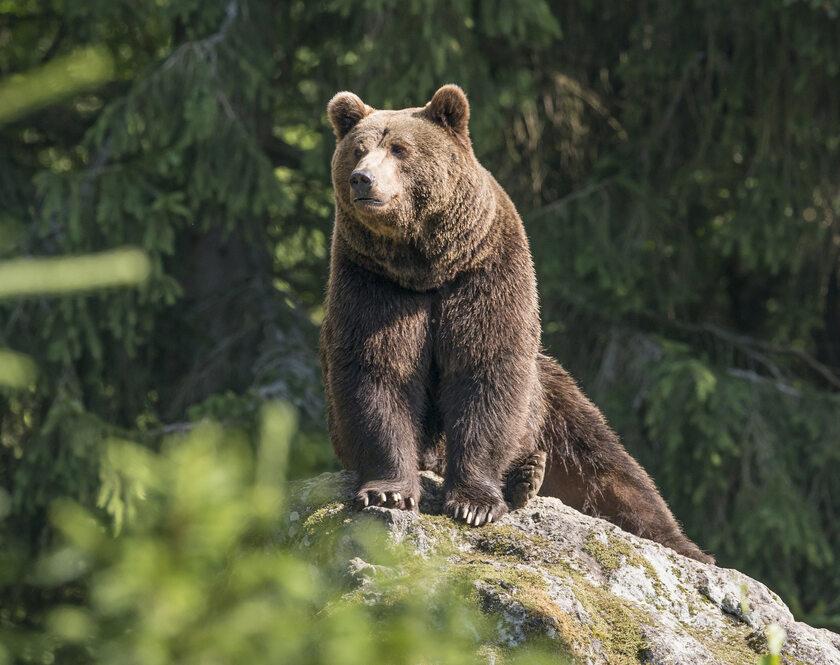 Niedźwiedź, zdjęcie ilustracyjne