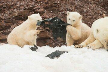 Niedźwiedzie polarne bawiące się kawałkiem plastiku