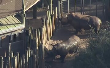 Nosorożce w Brevard zoo