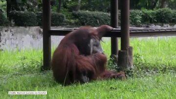Orangutan palący papierosa