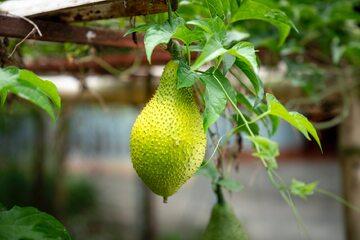 Owoc chlebowca