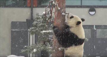 Panda w fińskim zoo