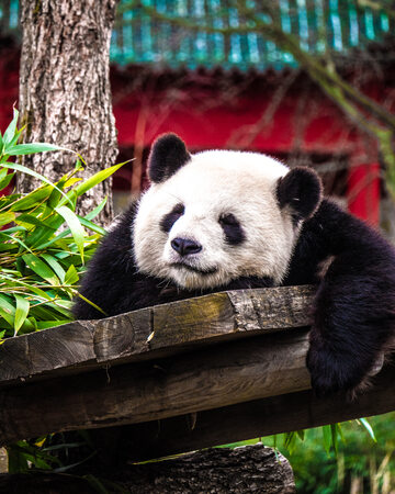 Panda w zoo w Berlinie, zdj. ilustracyjne