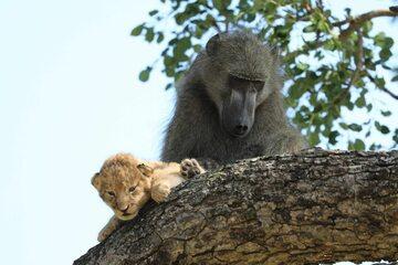 Pawian i małe lwiątko