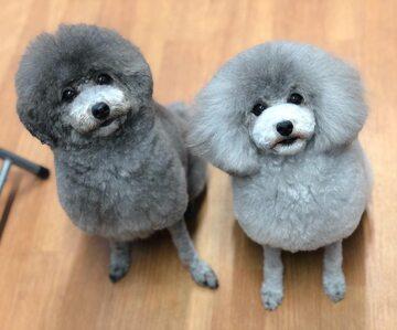 Pies, który trafił do japońskiego salonu piękności