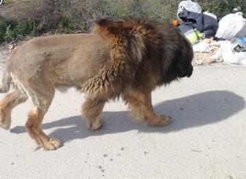Pies, który wygląda jak lew