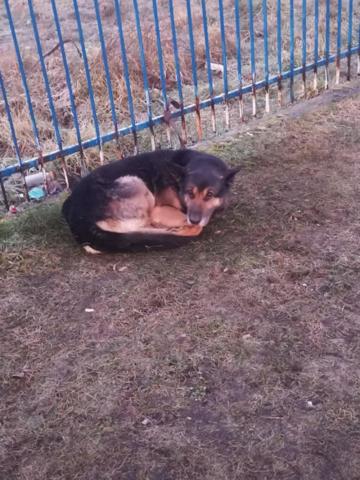 Pies przywiązany do ogrodzenia