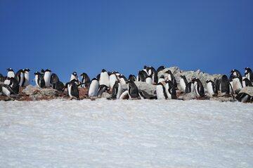 Pingwiny białobrewe