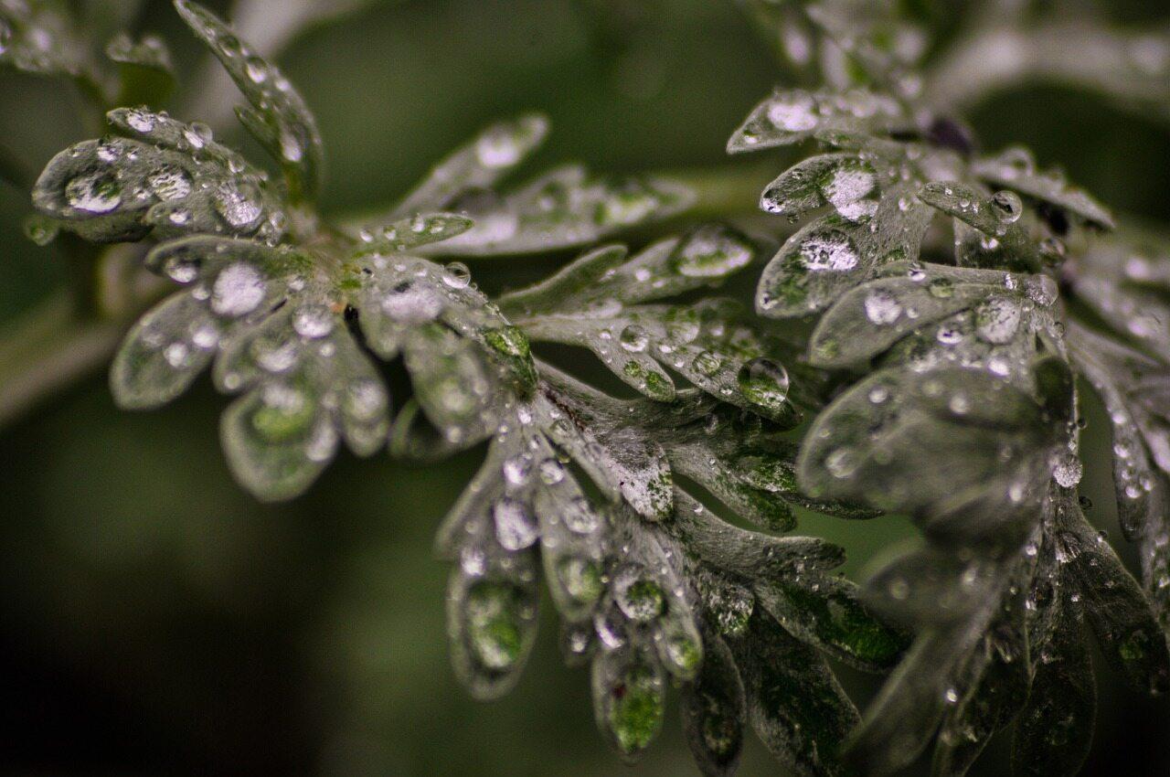 Piołun