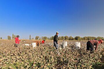 Plantacja bawełny w Chinach