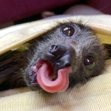 Podopieczni organizacji Bats Queensland