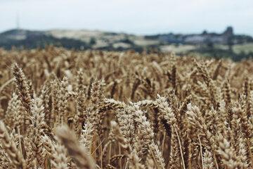 Pola pszenicy, zdjęcie ilustracyjne