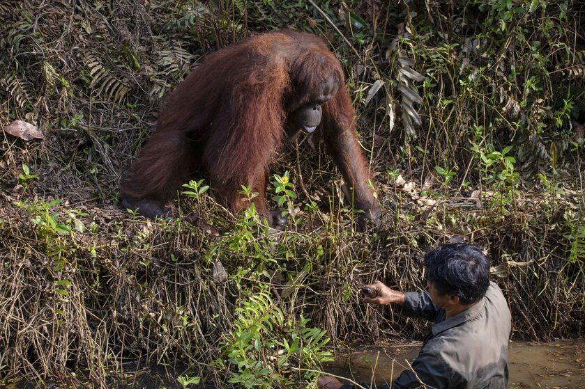 Pomocny orangutan uwieczniony przez Anila Prahbakara