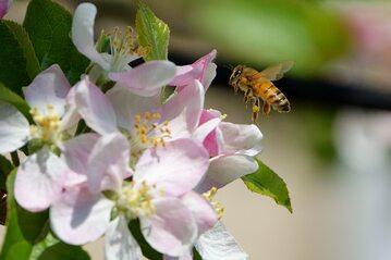Pszczoła, zdjęcie ilustracyjne