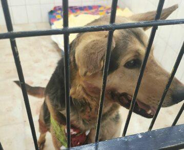 Ranny pies, ciągnięty po ulicy na łańcuchu