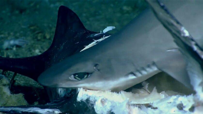 Rekin pożarty przez rybę