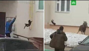 Rzut kotem w łosia