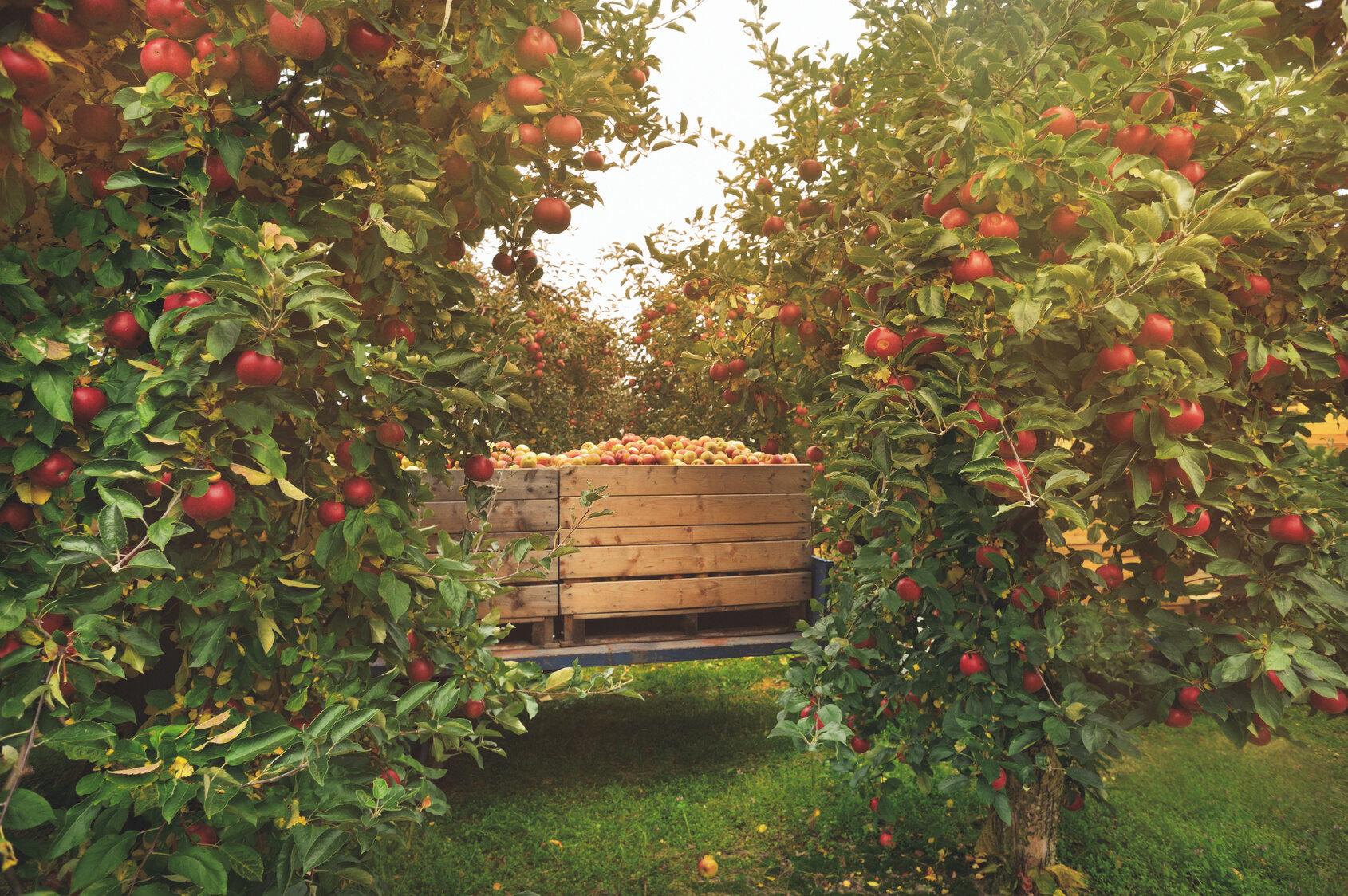Sad owocowy, zdjęcie ilustracyjne