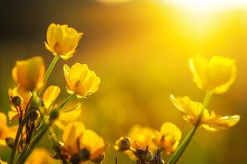 Słońce, kwiaty, zdj. ilustracyjne