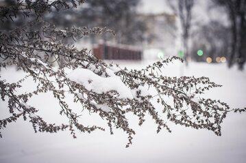 Śnieg na krzewie