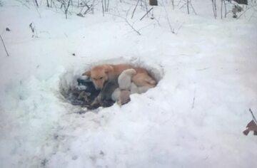 Snowbelle i jej szczeniaki w śniegu