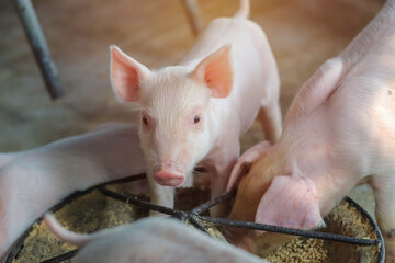 Świnia, zdj. ilustracyjne