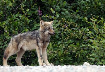 Szczenię wilka szarego - zdjęcie ilustracyjne