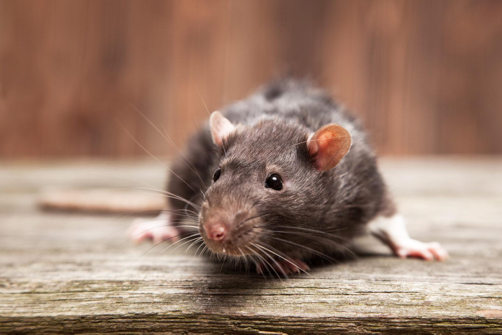 Szczur. Zdjęcie ilustracyjne