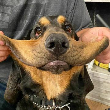 Ten pies ma wyraźnie za dużo skóry