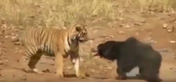 Tygrys i niedźwiedź