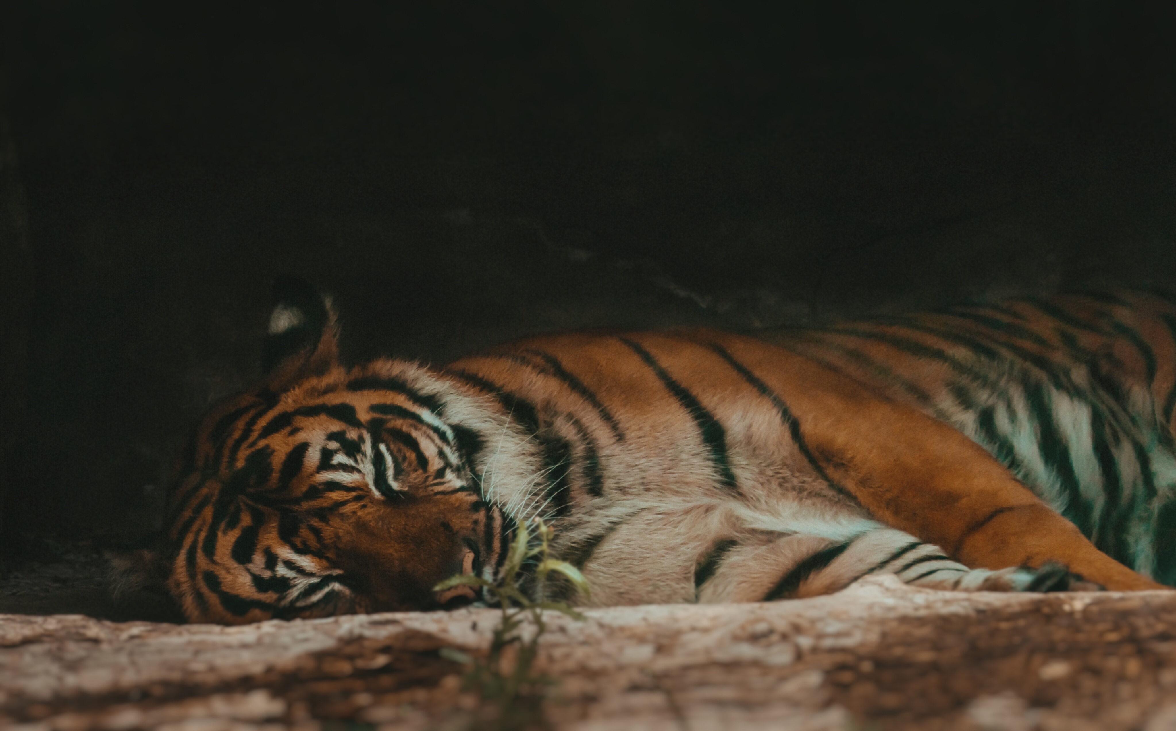Tygrys malezyjski, zdjęcie ilustracyjne