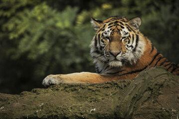 Tygrys syberyjski, zdjęcie ilustracyjne