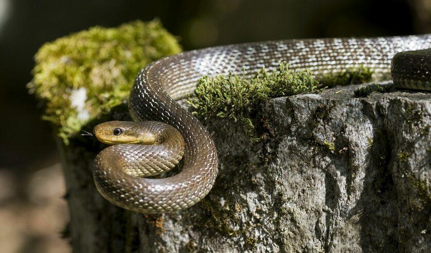 Wąż Eskulapa, zdjęcie ilustracyjne