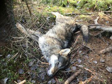 Wilk zabity na terenie Tatrzańskiego Parku Narodowego