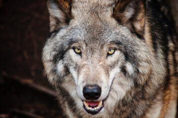 Wilk, zdj. ilustracyjne