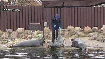Wszystkie dorosłe foki na Helu są w ciąży. Ojcem jest lokalny samiec alfa
