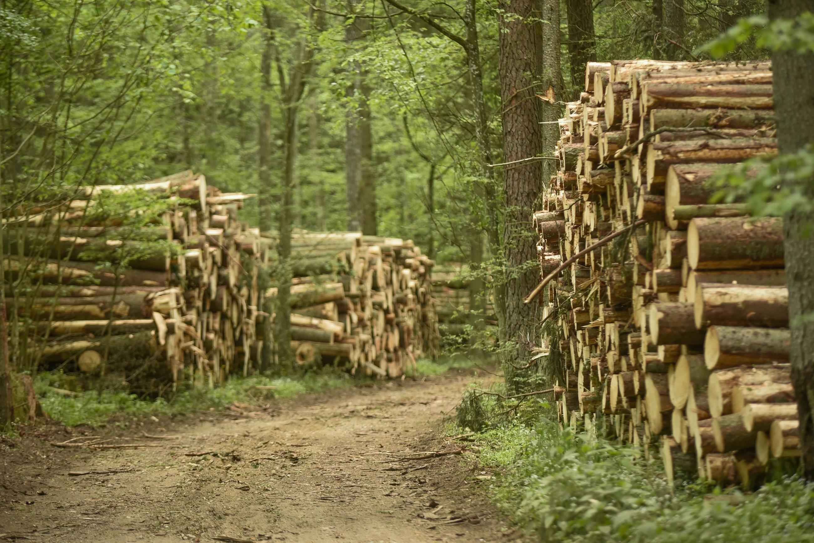 Wycięte drzewa z Puszczy Białowieskiej