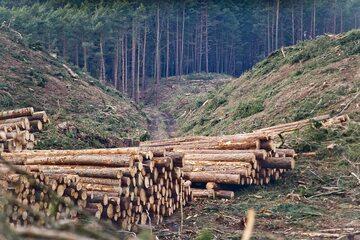 Wycinka lasu w miejscu planowanego przekopu Mierzei Wiślanej