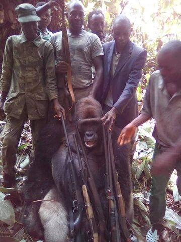 Zabity goryl