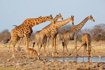 Żyrafy, zdjęcie ilustracyjne